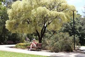 variegated peppermint tree abc news australian broadcasting