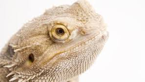 bad bearded dragon darker animals mom