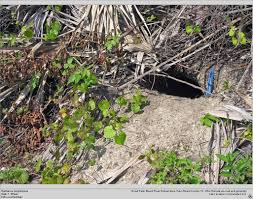katharine capsella tortuga gopherus polyphemus 03 00 história natural