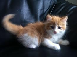 cute fluffy kitten for sale cats pinterest fluffy kittens