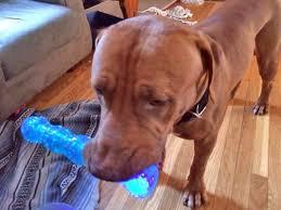 eddie gentle giant red mastiff adopted u2013 amsterdog rescue