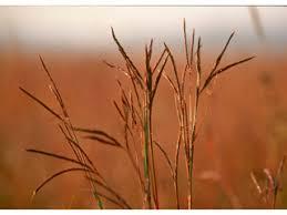 Big Bluestem Ornamental Grass Andropogon Gerardii Big Bluestem Npin