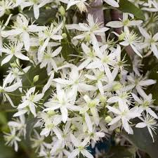 Fragrant Flowers For Garden - clematis paniculata sweet autumn clematis gardens and plants