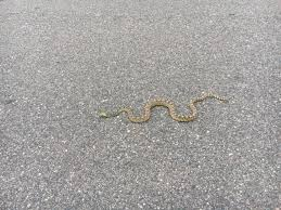 snakes sighted in metro area neighborhoods 9news com