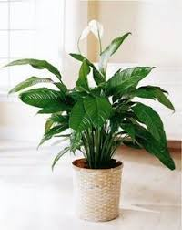 Indoor Plants That Don T Need Sun Clean The Polluted Air In Your Home With These Houseplants