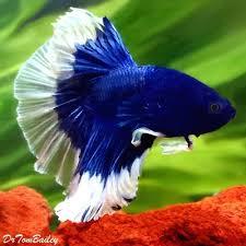 Buy Ornamental Fish Aquarium Fish Tropical Fish And Goldfish For Sale