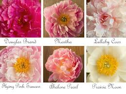 wedding flowers peonies wedding flowers peonies in shades of ivory pink coral and yellow
