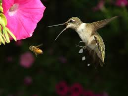 Hummingbird On A Flower - ruby throated hummingbird