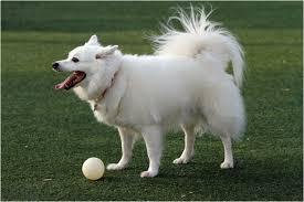 miniature american eskimo dog life expectancy american eskimo dog breeders facts pictures puppies rescue