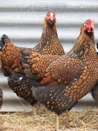 Backyard Chicken Breeds by Chicken Breeds Golden With Bantam Backyard Chicken Breeds