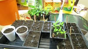 light requirements for growing tomatoes indoors 1 of 9 growing tomatoes peppers when to seed start starting mix