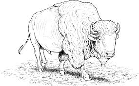 buffalo coloring page free download