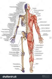 Anatomy Of The Human Skeleton Image Result For Human Skeleton Human Form Pinterest Human