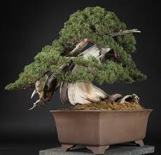 the most expensive bonsai tree bonsai empire