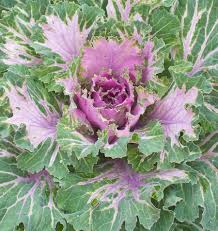 ornamental kale seeds archives