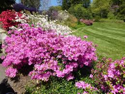 Pink Spring Flowering Shrubs - when to see biltmore u0027s 2016 spring flowers march may