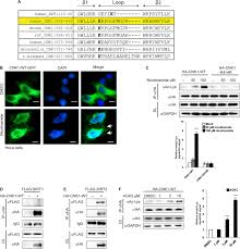 membrane localization of acetylated cnk1 mediates a positive