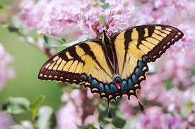 mesmerizing facts about the pretty tiger swallowtail butterfly