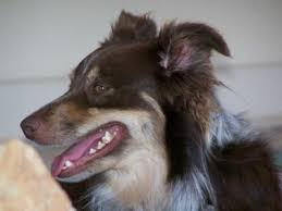 australian shepherd kidney disease st francis veterinary group