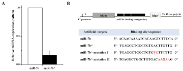 ijms free full text up regulation of microrna strands by