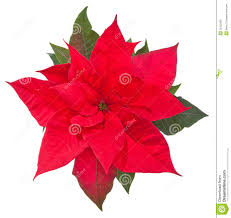 poinsettia flowers u2013 happy holidays