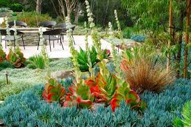 kalanchoe luciae paddle plant
