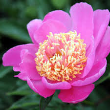 peonies flower peonies peony bush peony care growing peonies gardener s supply