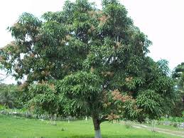 trees planet mangifera indica mango tree