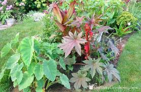 Bean Leaves Bed Bugs How To Grow Castor Bean Plant From Seed
