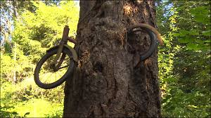 the real story of the bike chained to a tree on vashon island