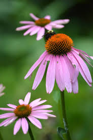 echinacea flower echinacea species flowering plants for bees butterflies and birds