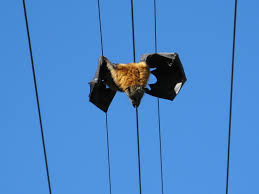 about flying foxes