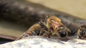 honey bees drinking water in slow motion youtube
