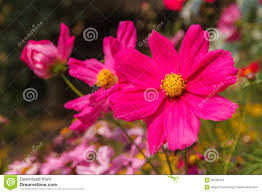 winter flowers pink color stock photo image 59340470