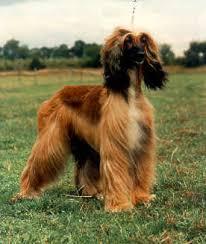 afghan hound ireland the story of el kharaman kennel