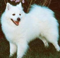 american eskimo dog puppies near me adopt an american eskimo dog toy dog breeds petfinder
