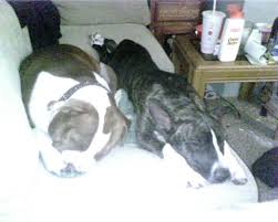 american pitbull terrier jeep bloodline 2x jeep red boy and carver help page 3 pitbulls go pitbull
