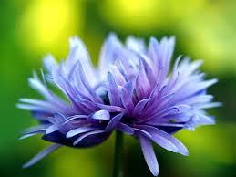 purple flower purple flower in bloom free stock photo by pixabay on stockvault net