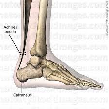 Calcaneus Anatomy Anatomy Stock Images Ankle Achilles Tendon Calcaneus Foot