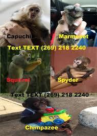 Baby Monkey Meme - monkeys for sale in naples classifieds baby monkeys capuchin