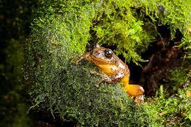 extinct u0027 frog rediscovered after 150 years eats mom u0027s eggs