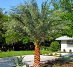 sylvester palm tree price sylvester date palm trees port palm tree nursery