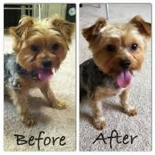 hair accessories for yorkie poos the 25 best yorkie short haircuts ideas on pinterest yorkie