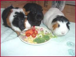 guinea pigs vegetables and fruits