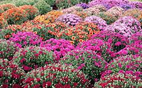 fall mums u2014 kirby u0027s farm market