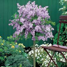Potted Patio Trees by Patio Syringa Palibin Tree 2 X 3l Potted Tree Lead The Good Life