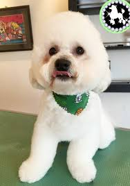 bichon frise long hair choosing a hair style for your dog dog grooming services in tamworth