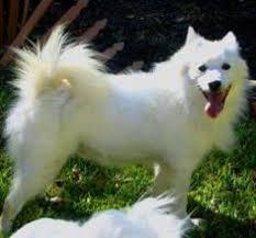 american eskimo dog dallas adopt maxwell on american eskimo dog and dogs