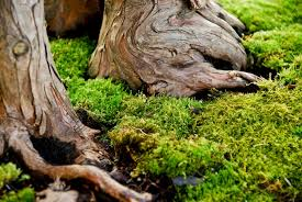 growing moss how to grow moss in the garden