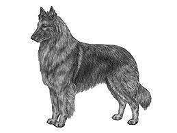 belgian sheepdog vs belgian shepherd detail